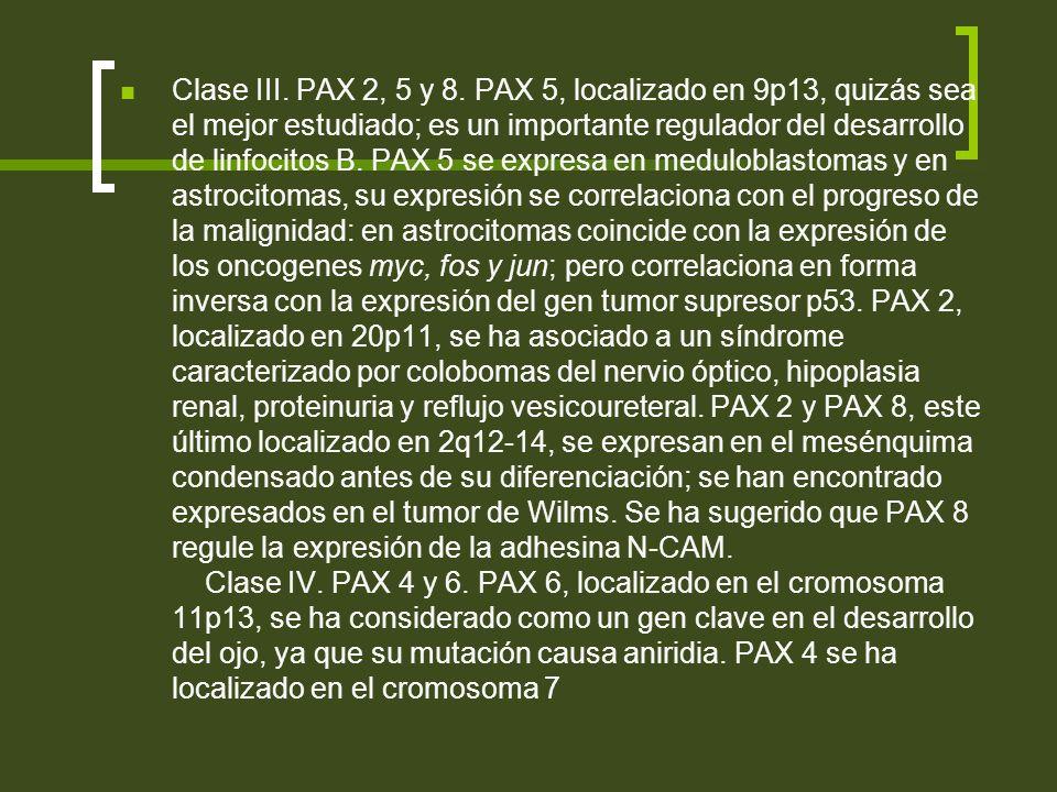 Clase III. PAX 2, 5 y 8. PAX 5, localizado en 9p13, quizás sea el mejor estudiado; es un importante regulador del desarrollo de linfocitos B. PAX 5 se