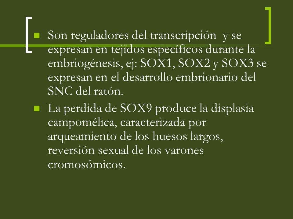 Son reguladores del transcripción y se expresan en tejidos específicos durante la embriogénesis, ej: SOX1, SOX2 y SOX3 se expresan en el desarrollo em