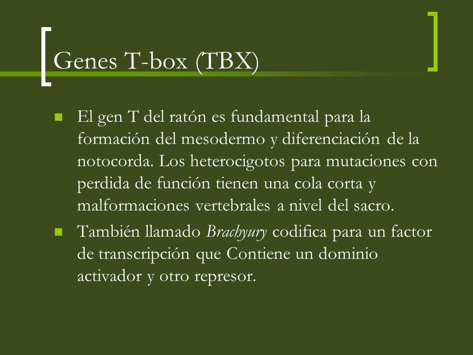 Genes T-box (TBX) El gen T del ratón es fundamental para la formación del mesodermo y diferenciación de la notocorda. Los heterocigotos para mutacione