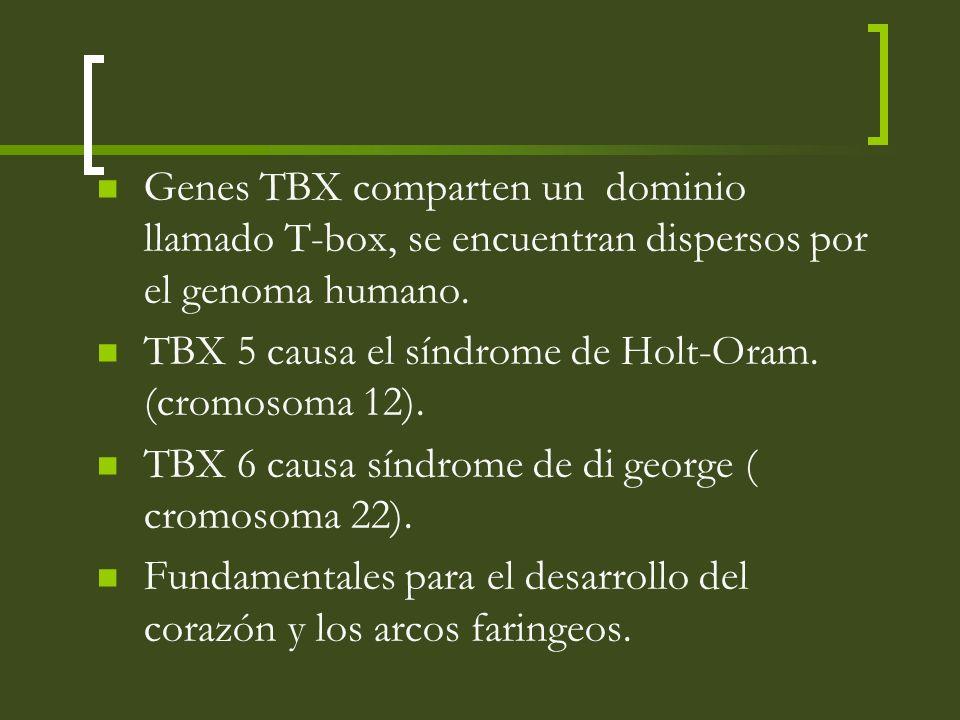 Genes TBX comparten un dominio llamado T-box, se encuentran dispersos por el genoma humano. TBX 5 causa el síndrome de Holt-Oram. (cromosoma 12). TBX