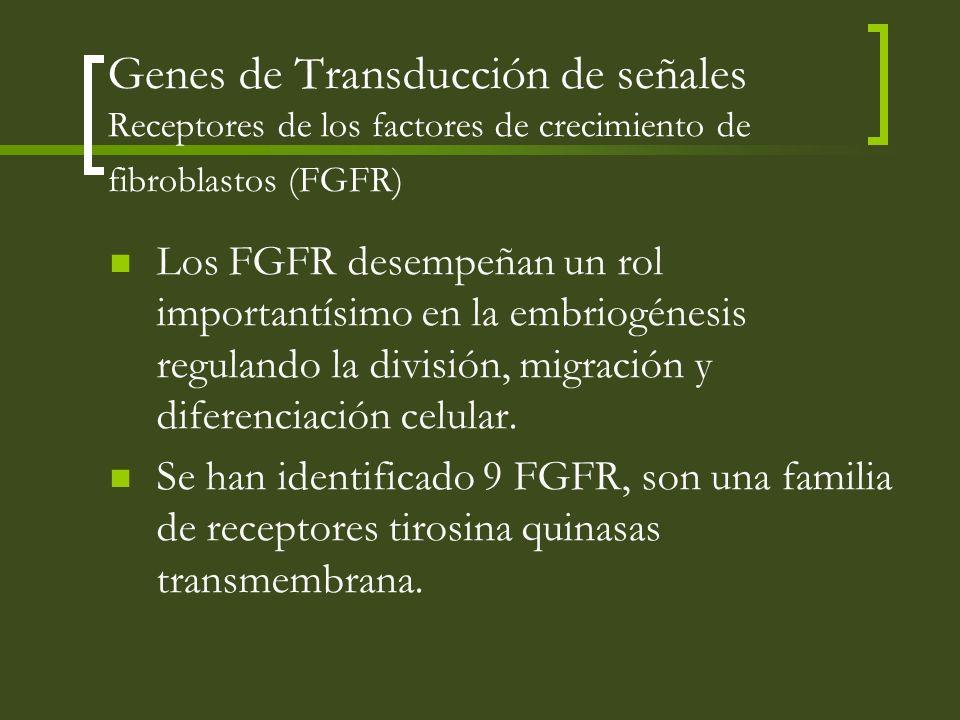 Genes de Transducción de señales Receptores de los factores de crecimiento de fibroblastos (FGFR) Los FGFR desempeñan un rol importantísimo en la embr