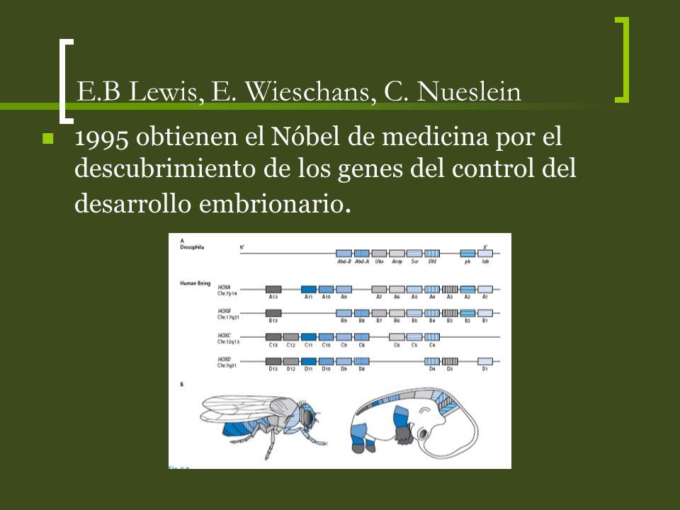 E.B Lewis, E. Wieschans, C. Nueslein 1995 obtienen el Nóbel de medicina por el descubrimiento de los genes del control del desarrollo embrionario.