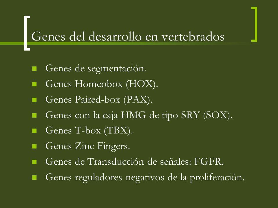 Genes del desarrollo en vertebrados Genes de segmentación. Genes Homeobox (HOX). Genes Paired-box (PAX). Genes con la caja HMG de tipo SRY (SOX). Gene