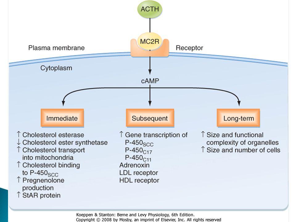 Receptor Proteína G asociada Distribución MC1Gs Presente en células de la piel, regula síntesis de eumelanina MC3Gs TGI, cerebro, corazón y placenta.