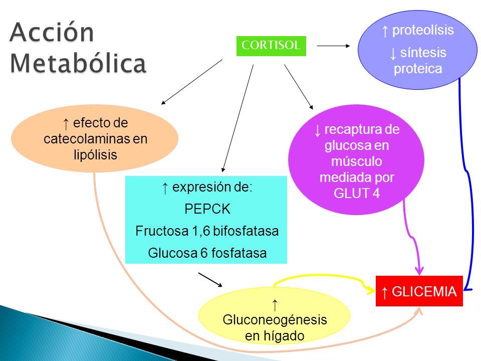 SNC Piel Retina TGI CORTISOL requerido para el desarrollo normal de Pulmón Induce a la diferenciación y maduración de las células alveolares tipo II