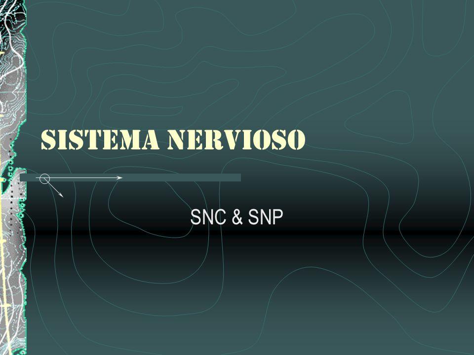 Señales Químicas Una neurona transmite información hacia otra neurona, a un músculo o una glándula por medio de la liberación de químicos denominados Neurotransmisores.