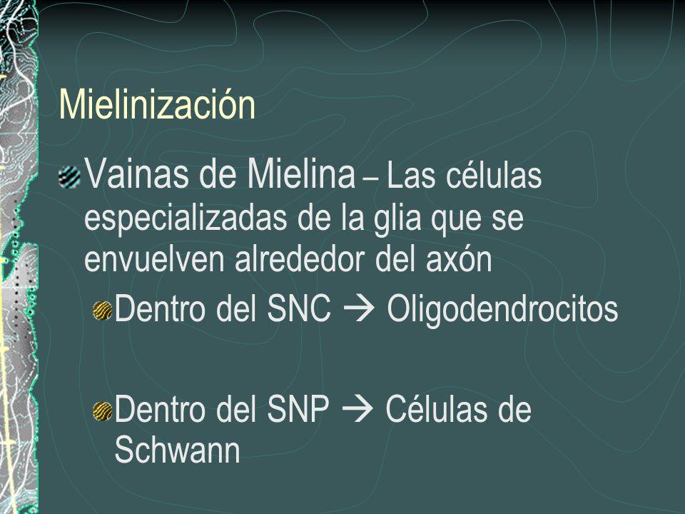 Mielinización Vainas de Mielina – Las células especializadas de la glia que se envuelven alrededor del axón Dentro del SNC Oligodendrocitos Dentro del