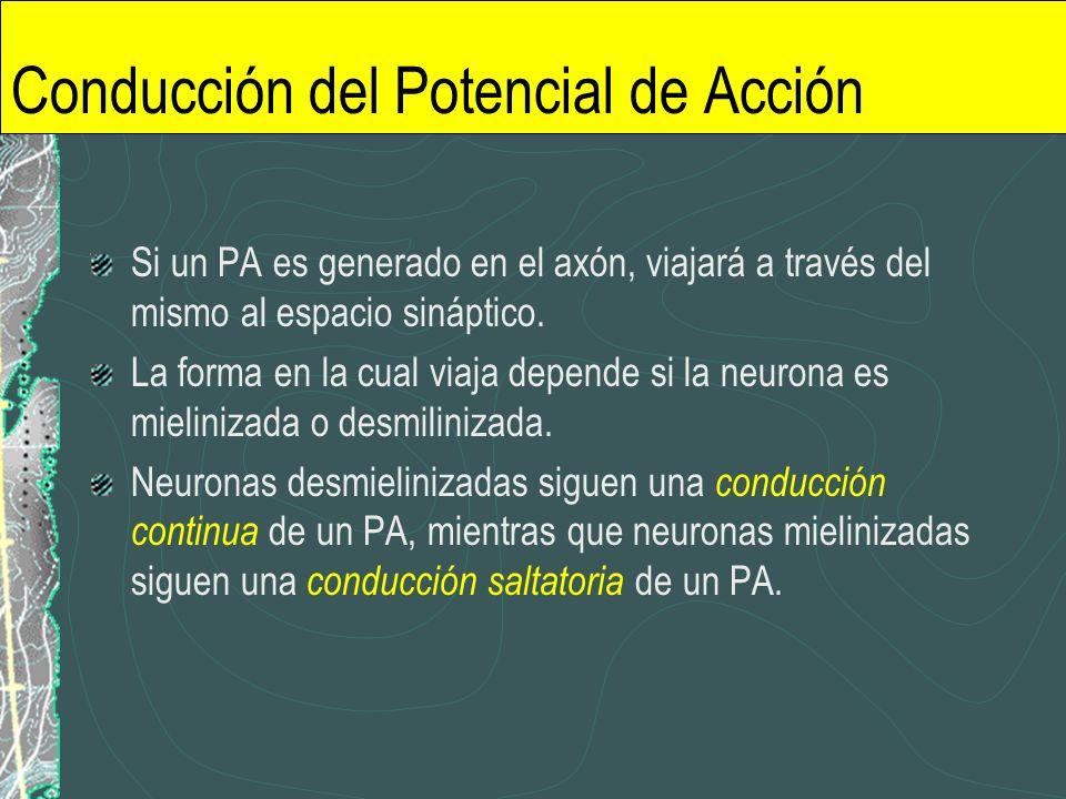 Conducción del Potencial de Acción Si un PA es generado en el axón, viajará a través del mismo al espacio sináptico. La forma en la cual viaja depende