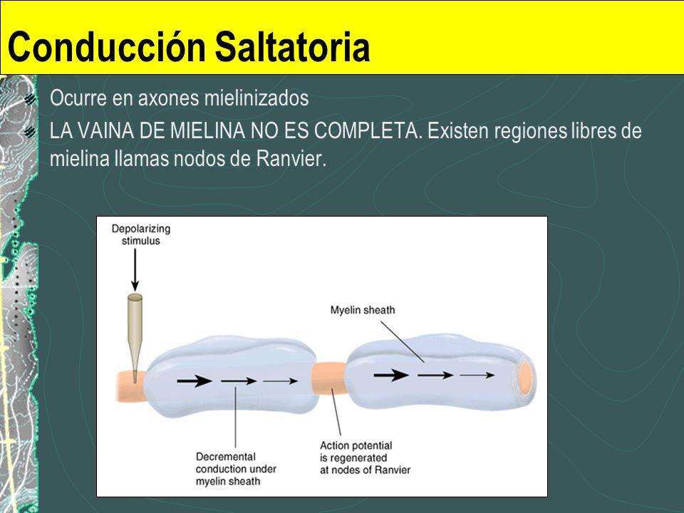 Conducción Saltatoria Ocurre en axones mielinizados LA VAINA DE MIELINA NO ES COMPLETA. Existen regiones libres de mielina llamas nodos de Ranvier.