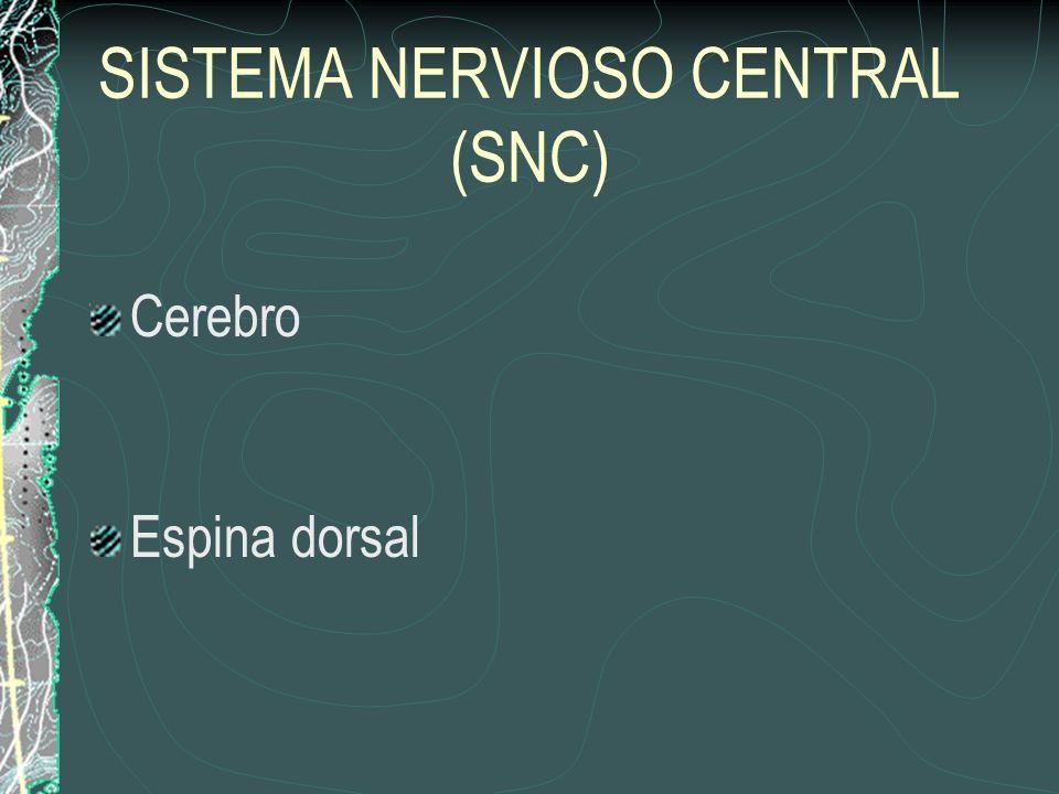 SISTEMA NERVIOSO PERIFÉRICO (SNP) Nervios Craneales – emergen a través de la foramina craneal del cráneo Nervios de la Espina – emergen a través de la foramina intervertebral Ganglia – grupos de cuerpos celulares nerviosos afuera del cerebro y la espina dorsal Sistema Nervioso Autonímico – enerva los músculos lisos, cardíaco y gándulas