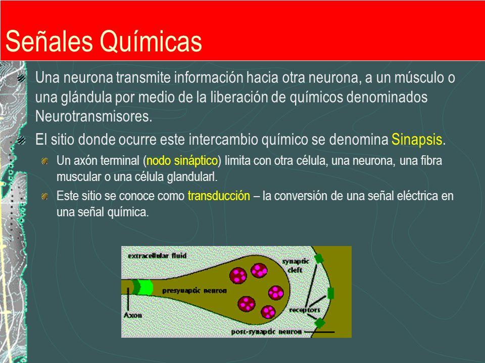 Señales Químicas Una neurona transmite información hacia otra neurona, a un músculo o una glándula por medio de la liberación de químicos denominados