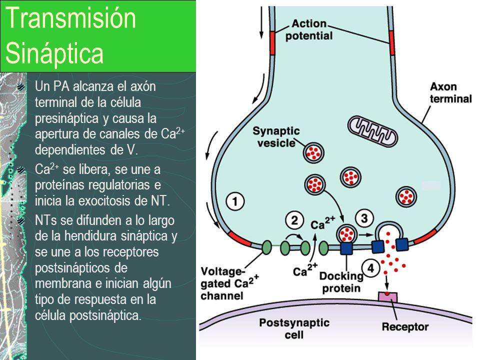Transmisión Sináptica Un PA alcanza el axón terminal de la célula presináptica y causa la apertura de canales de Ca 2+ dependientes de V. Ca 2+ se lib