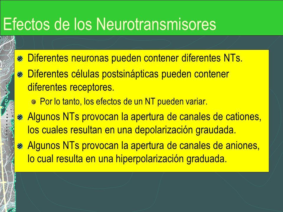 Efectos de los Neurotransmisores Diferentes neuronas pueden contener diferentes NTs. Diferentes células postsinápticas pueden contener diferentes rece
