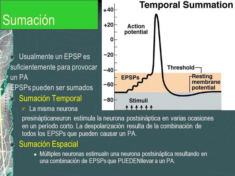 Sumación Usualmente un EPSP es suficientemente para provocar un PA EPSPs pueden ser sumados Sumación Temporal La misma neurona presinápticaneuron esti
