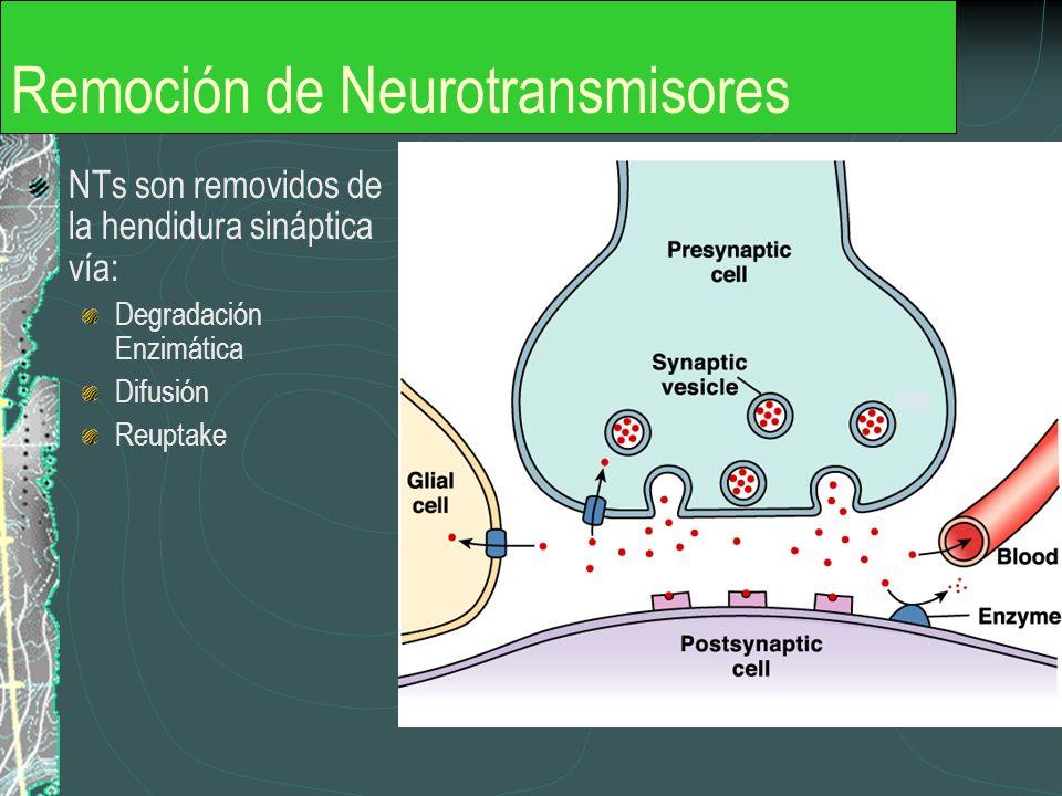 Remoción de Neurotransmisores NTs son removidos de la hendidura sináptica vía: Degradación Enzimática Difusión Reuptake