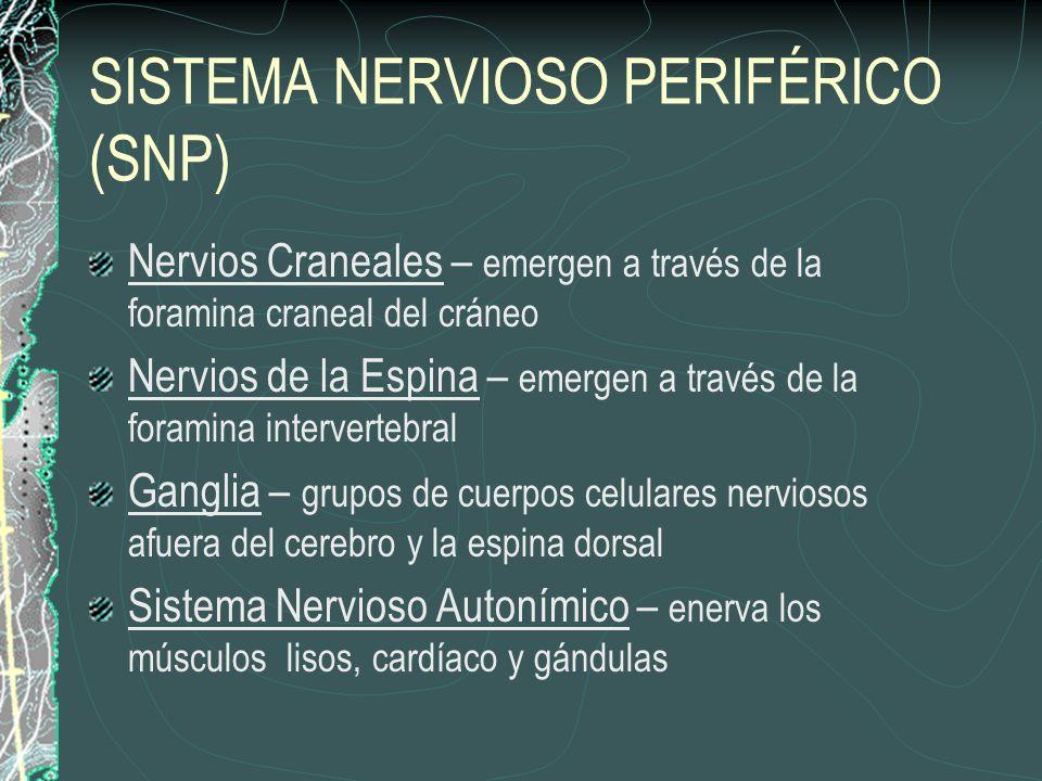 SISTEMA NERVIOSO PERIFÉRICO (SNP) Nervios Craneales – emergen a través de la foramina craneal del cráneo Nervios de la Espina – emergen a través de la