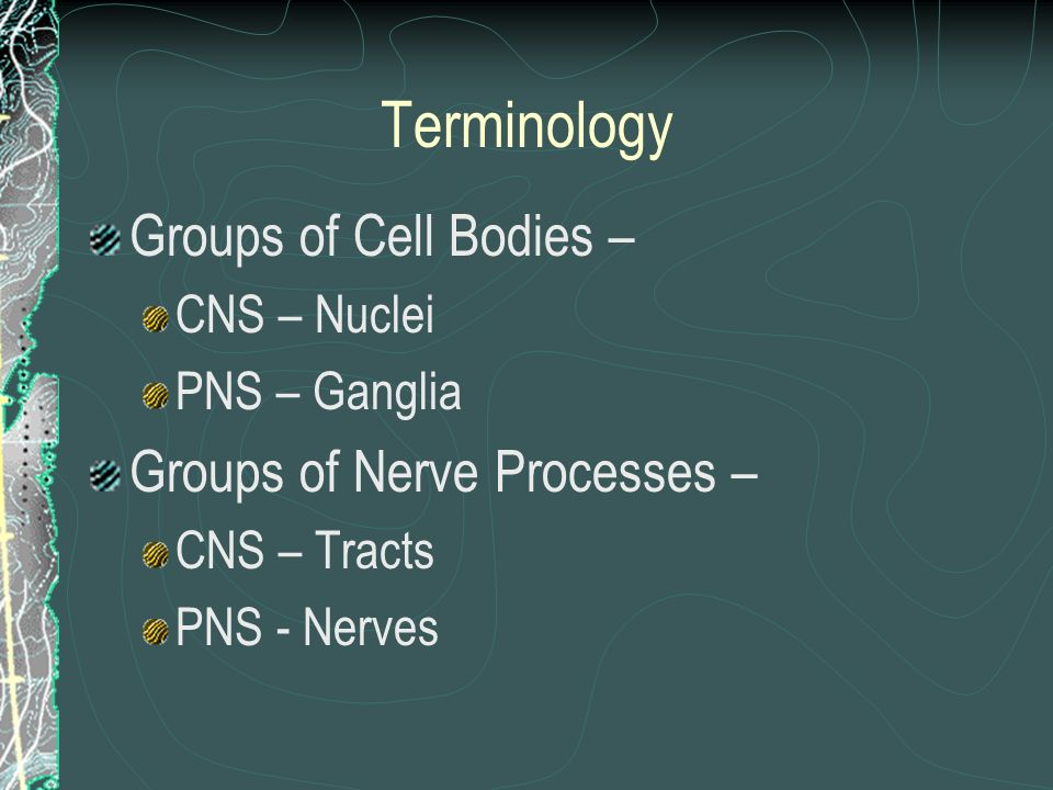 Terminology Groups of Cell Bodies – CNS – Nuclei PNS – Ganglia Groups of Nerve Processes – CNS – Tracts PNS - Nerves