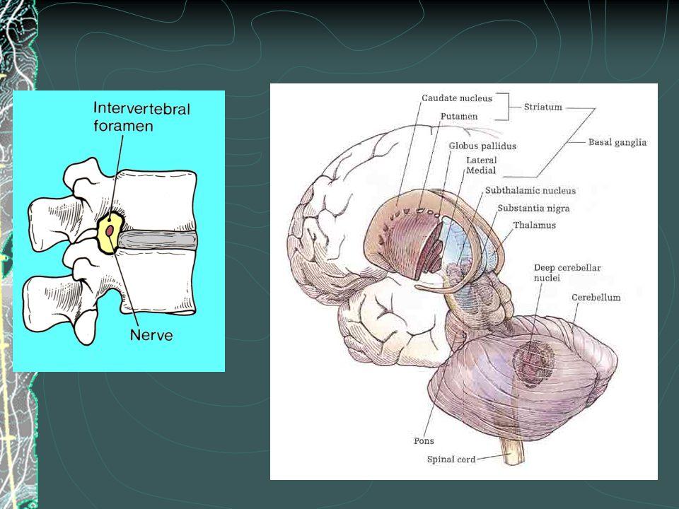 CNS Glial Cells Oligodendrocytes – wrap around axons to form the myelin sheath