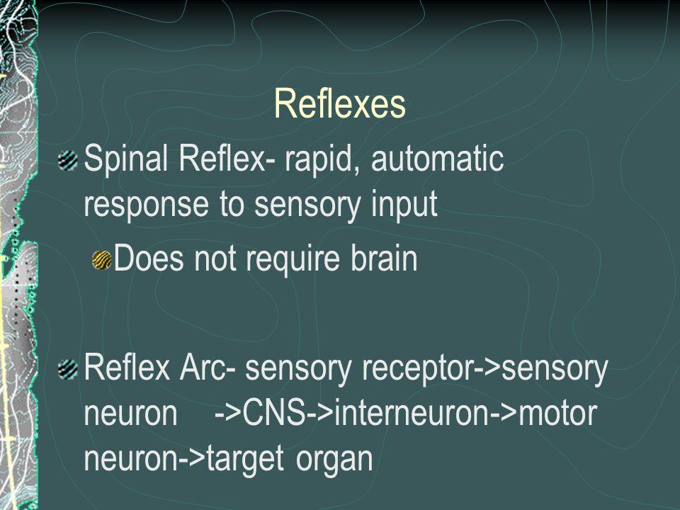 Reflexes Spinal Reflex- rapid, automatic response to sensory input Does not require brain Reflex Arc- sensory receptor->sensory neuron ->CNS->interneu