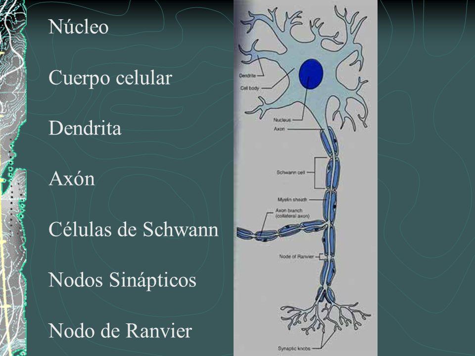 Núcleo Cuerpo celular Dendrita Axón Células de Schwann Nodos Sinápticos Nodo de Ranvier
