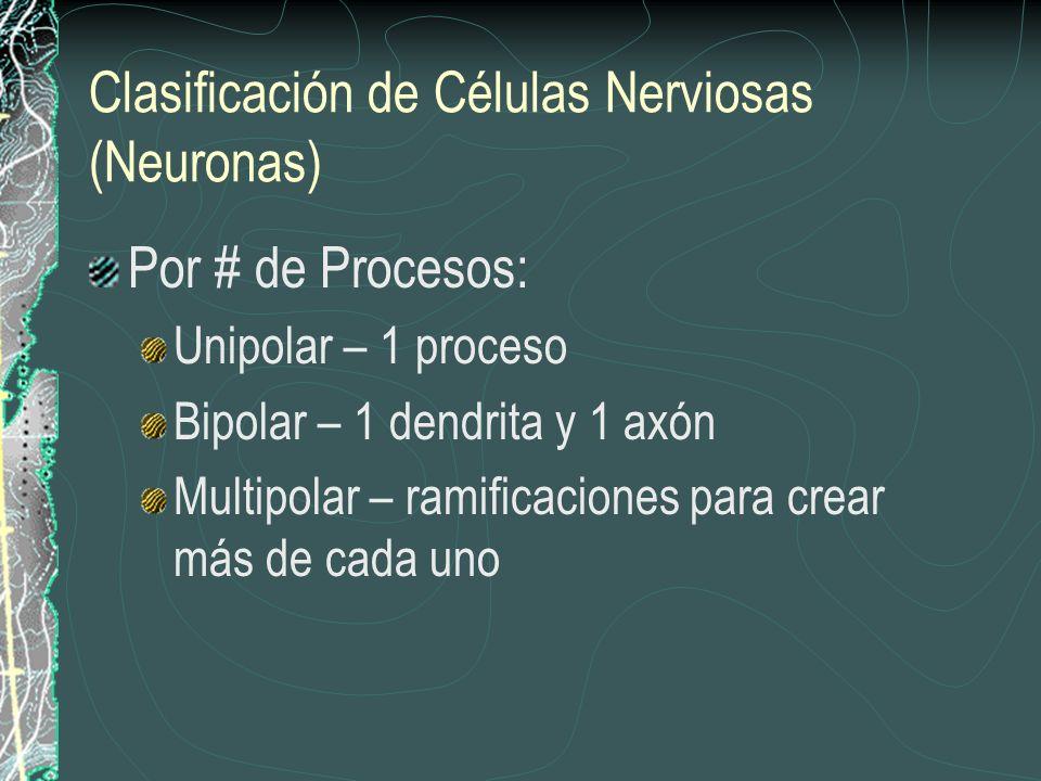 Clasificación de Células Nerviosas (Neuronas) Por # de Procesos: Unipolar – 1 proceso Bipolar – 1 dendrita y 1 axón Multipolar – ramificaciones para c
