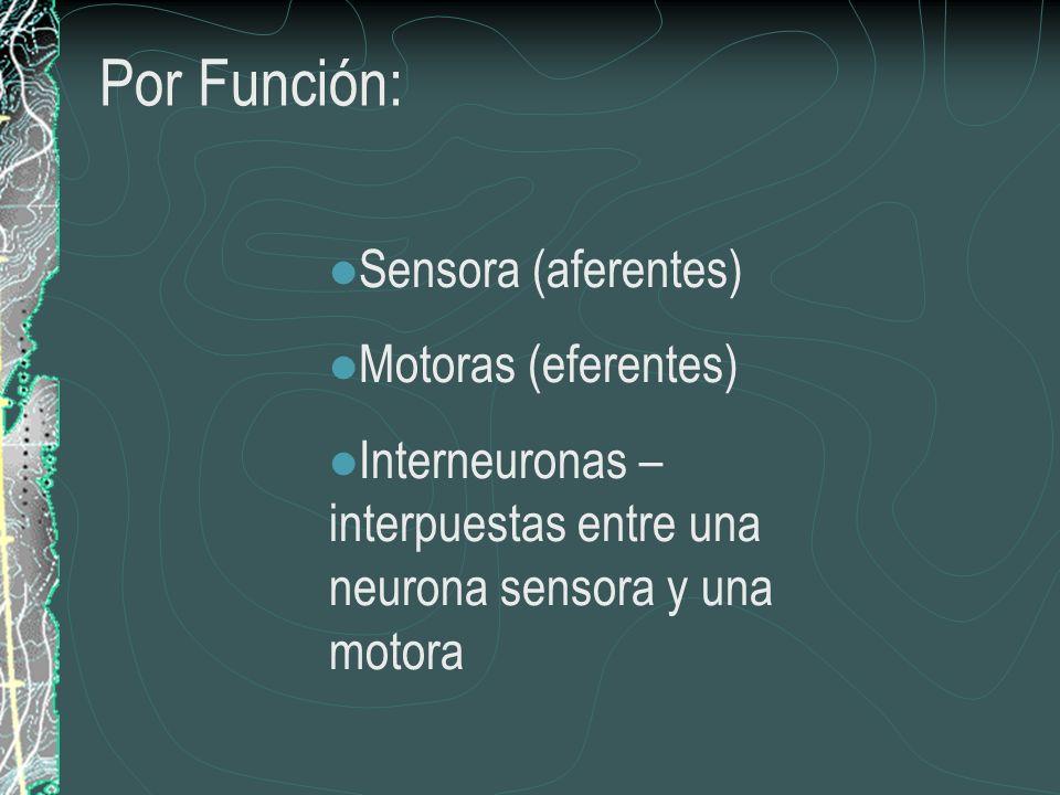 Por Función: Sensora (aferentes) Motoras (eferentes) Interneuronas – interpuestas entre una neurona sensora y una motora