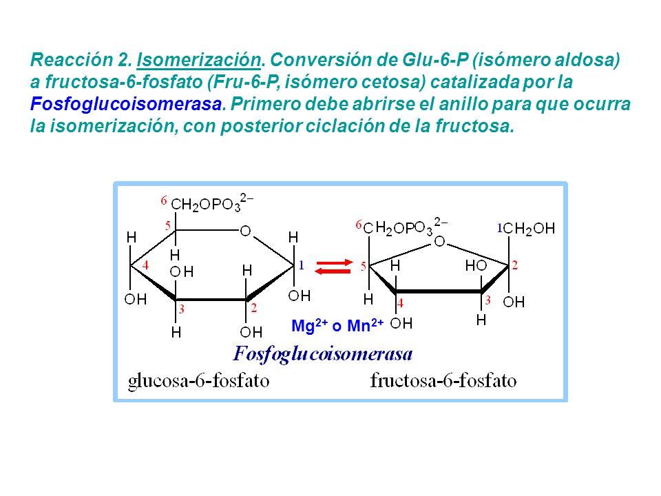 Reacción 2. Isomerización. Conversión de Glu-6-P (isómero aldosa) a fructosa-6-fosfato (Fru-6-P, isómero cetosa) catalizada por la Fosfoglucoisomerasa