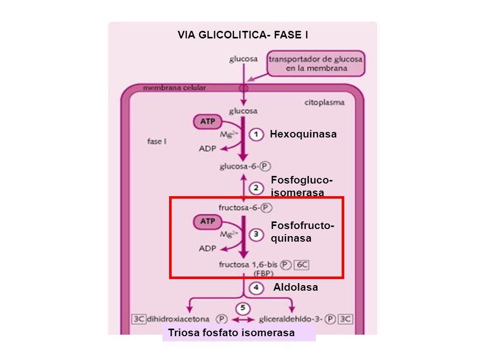 Hexoquinasa Fosfogluco- isomerasa Fosfofructo- quinasa Aldolasa Triosa fosfato isomerasa VIA GLICOLITICA- FASE I
