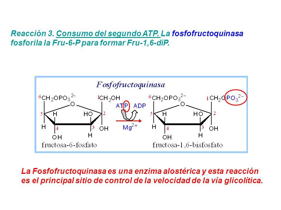 Reacción 3. Consumo del segundo ATP. La fosfofructoquinasa fosforila la Fru-6-P para formar Fru-1,6-diP. La Fosfofructoquinasa es una enzima alostéric