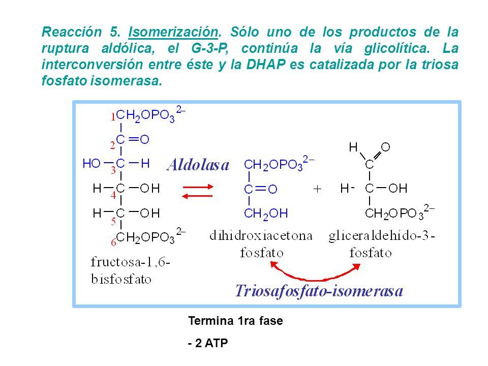 Reacción 5. Isomerización. Sólo uno de los productos de la ruptura aldólica, el G-3-P, continúa la vía glicolítica. La interconversión entre éste y la