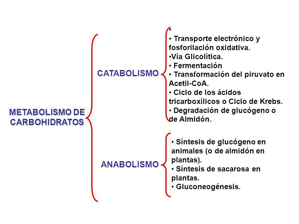 Degradación de otros az ú cares a través de la vía glicolítica Galactosa