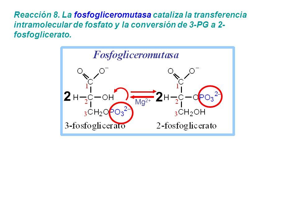 Reacción 8. La fosfogliceromutasa cataliza la transferencia intramolecular de fosfato y la conversión de 3-PG a 2- fosfoglicerato. 2 2 Mg 2+