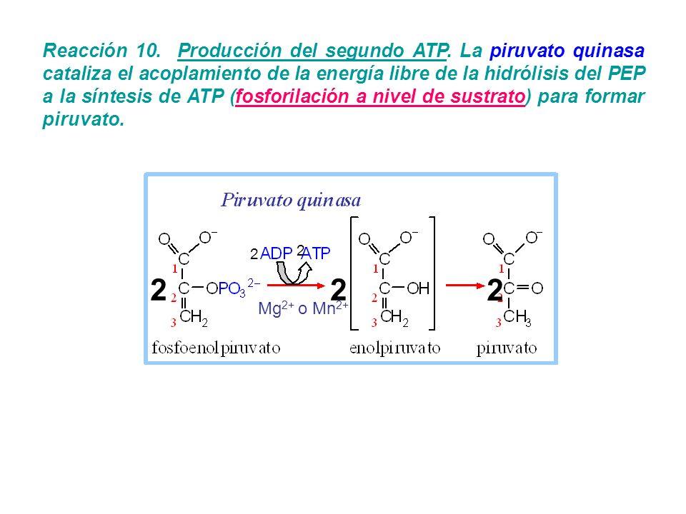 Reacción 10. Producción del segundo ATP. La piruvato quinasa cataliza el acoplamiento de la energía libre de la hidrólisis del PEP a la síntesis de AT