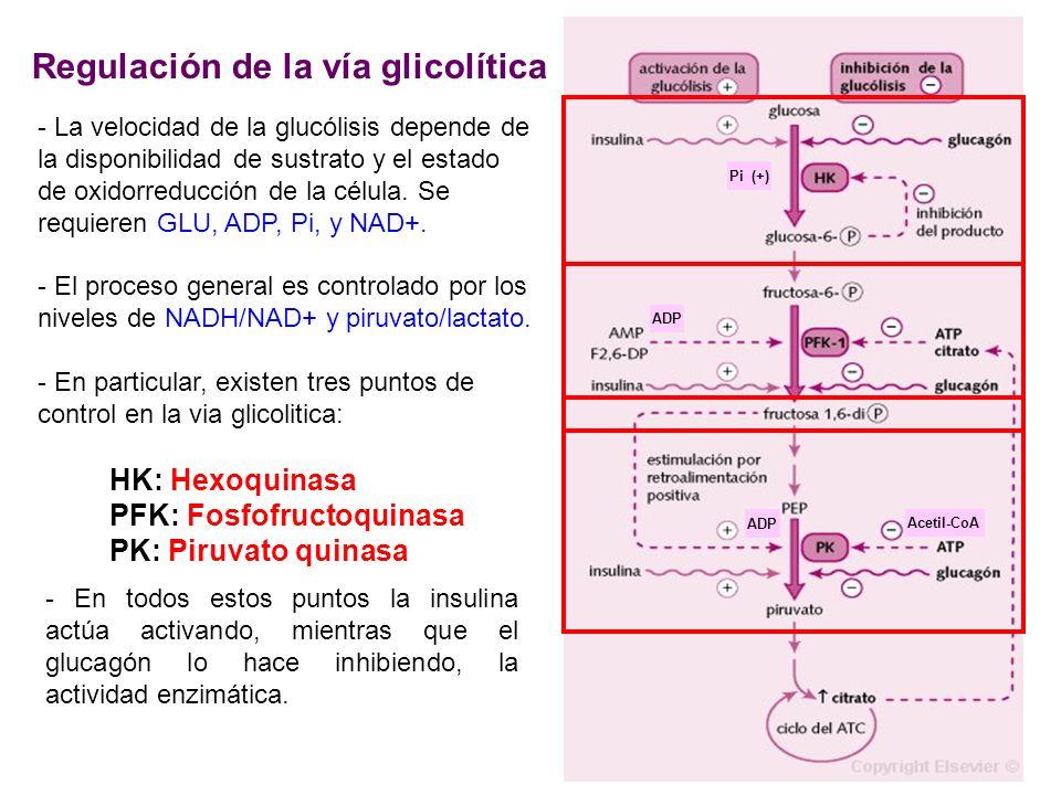 ADP Acetil-CoA Pi (+) Regulación de la vía glicolítica HK: Hexoquinasa PFK: Fosfofructoquinasa PK: Piruvato quinasa - La velocidad de la glucólisis de