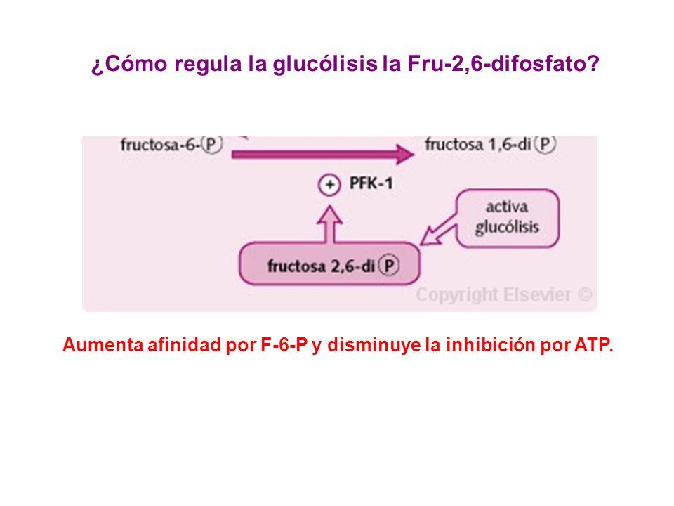 Aumenta afinidad por F-6-P y disminuye la inhibición por ATP. ¿Cómo regula la glucólisis la Fru-2,6-difosfato?