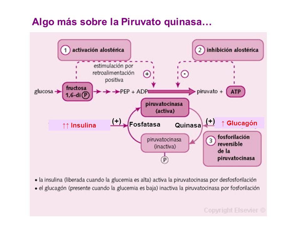 Insulina Glucagón Algo más sobre la Piruvato quinasa… Fosfatasa (+) Quinasa (+)