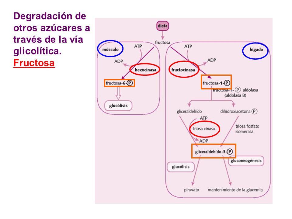 Degradación de otros az ú cares a través de la vía glicolítica. Fructosa
