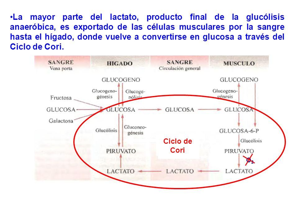 La mayor parte del lactato, producto final de la glucólisis anaeróbica, es exportado de las células musculares por la sangre hasta el hígado, donde vu
