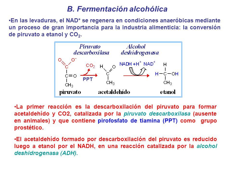 B. Fermentación alcohólica En las levaduras, el NAD + se regenera en condiciones anaeróbicas mediante un proceso de gran importancia para la industria