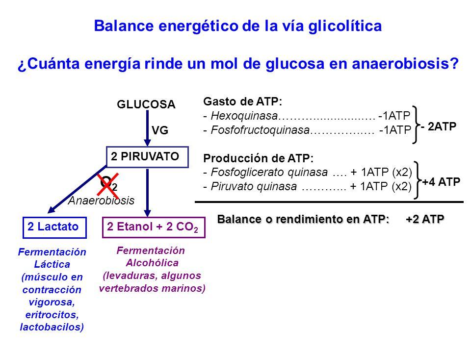 Balance energético de la vía glicolítica ¿Cuánta energía rinde un mol de glucosa en anaerobiosis? GLUCOSA 2 PIRUVATO VG Anaerobiosis O2O2 Fermentación