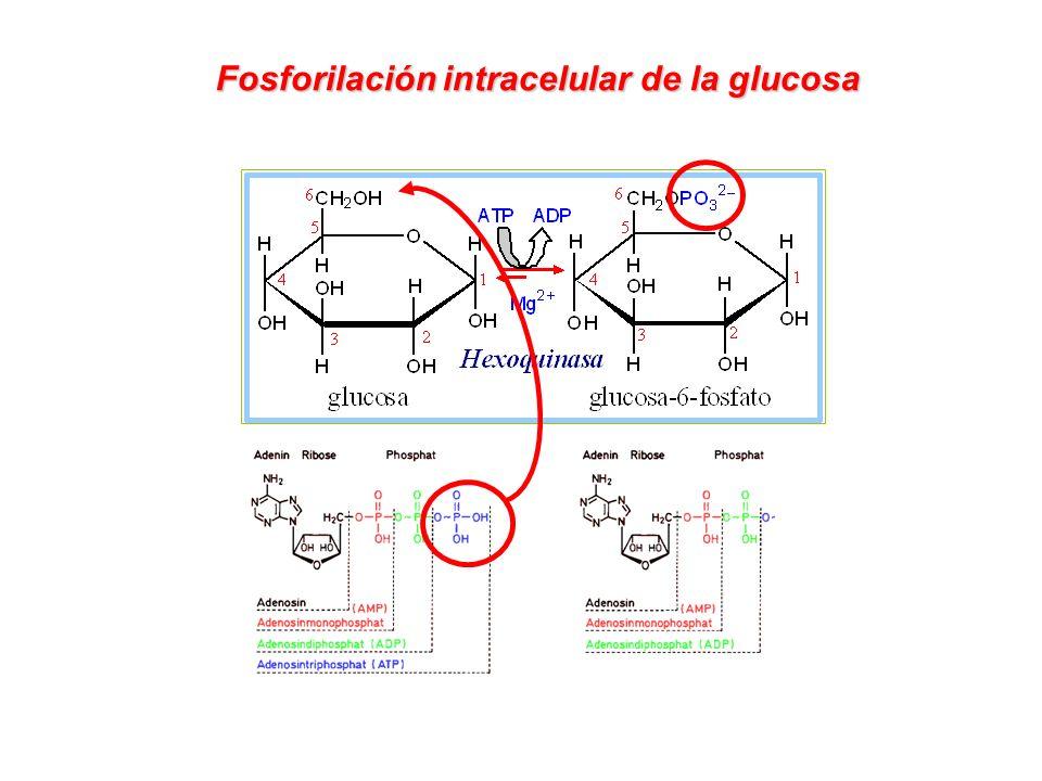 GLUCOSA-6-P Destinos metabólicos de la glucosa en una célula hepática Glucógeno-génesis Glucógeno Vía de las Pentosas Ribosa-5-P Piruvato Vía Glicolítica Glucosa Glucosa-6-fosfatasa