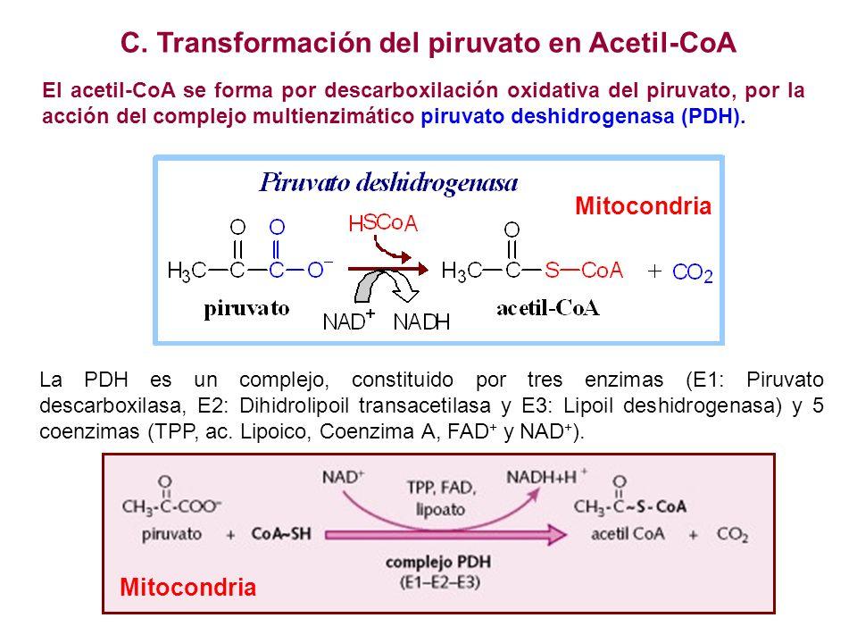 C. Transformación del piruvato en Acetil-CoA El acetil-CoA se forma por descarboxilación oxidativa del piruvato, por la acción del complejo multienzim