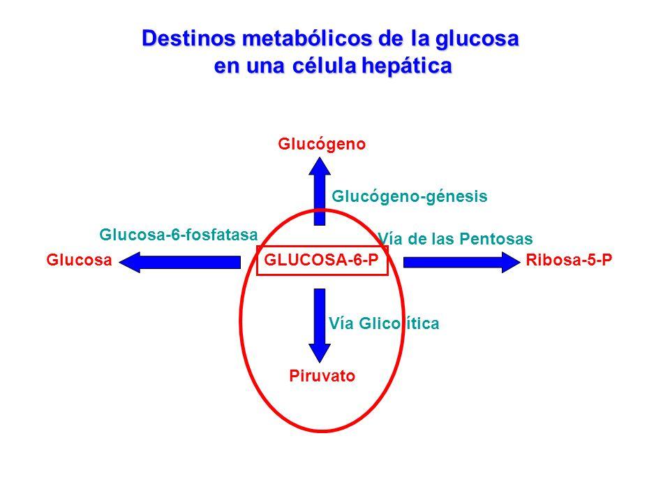 GLUCOSA-6-P Destinos metabólicos de la glucosa en una célula hepática Glucógeno-génesis Glucógeno Vía de las Pentosas Ribosa-5-P Piruvato Vía Glicolít