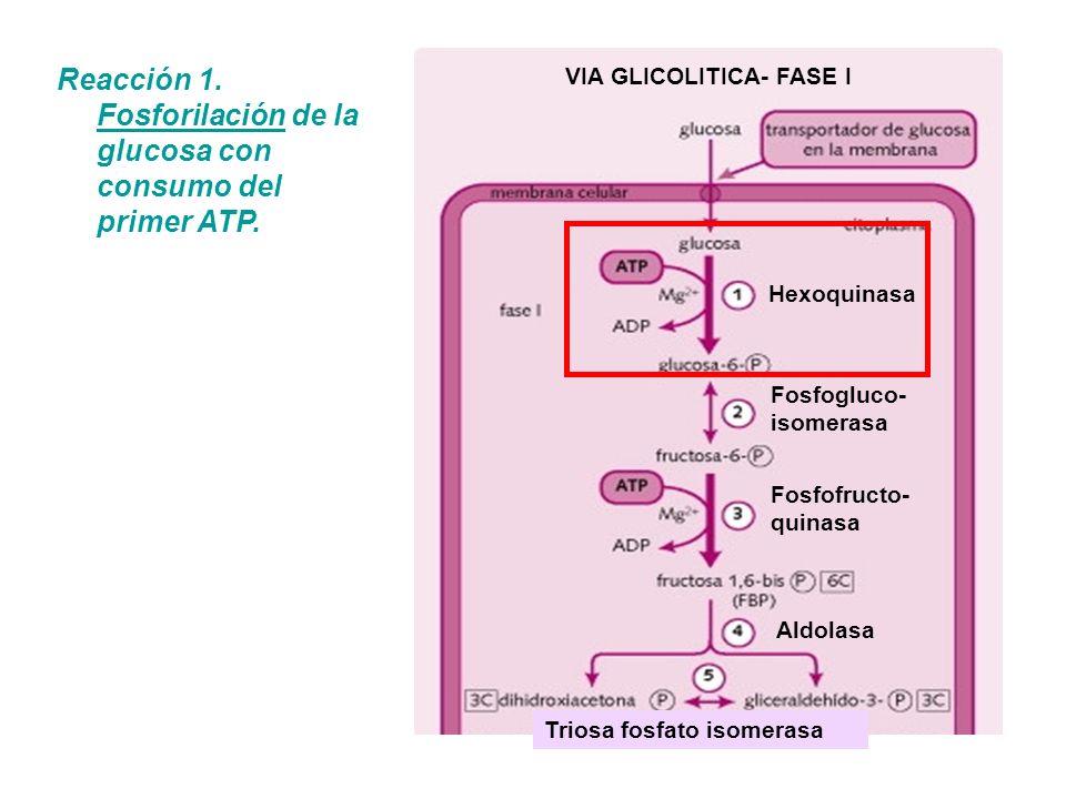 Hexoquinasa Fosfogluco- isomerasa Fosfofructo- quinasa Aldolasa Triosa fosfato isomerasa VIA GLICOLITICA- FASE I Reacción 1. Fosforilación de la gluco