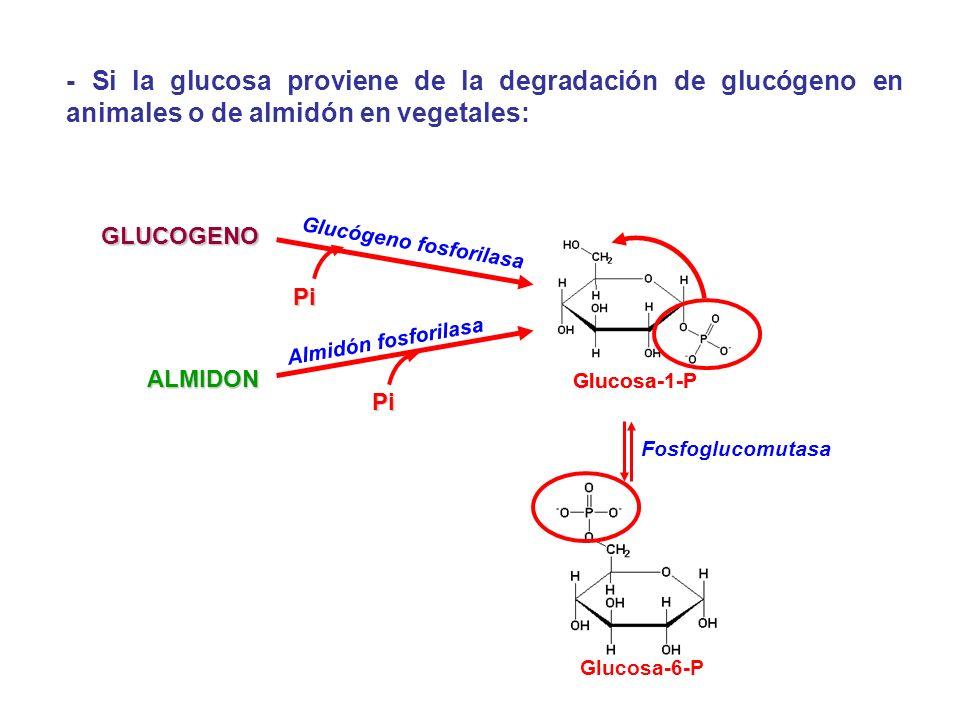 - Si la glucosa proviene de la degradación de glucógeno en animales o de almidón en vegetales: GLUCOGENO ALMIDON Glucógeno fosforilasa Almidón fosfori