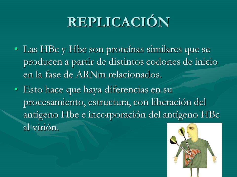 REPLICACIÓN Las HBc y Hbe son proteínas similares que se producen a partir de distintos codones de inicio en la fase de ARNm relacionados.Las HBc y Hb