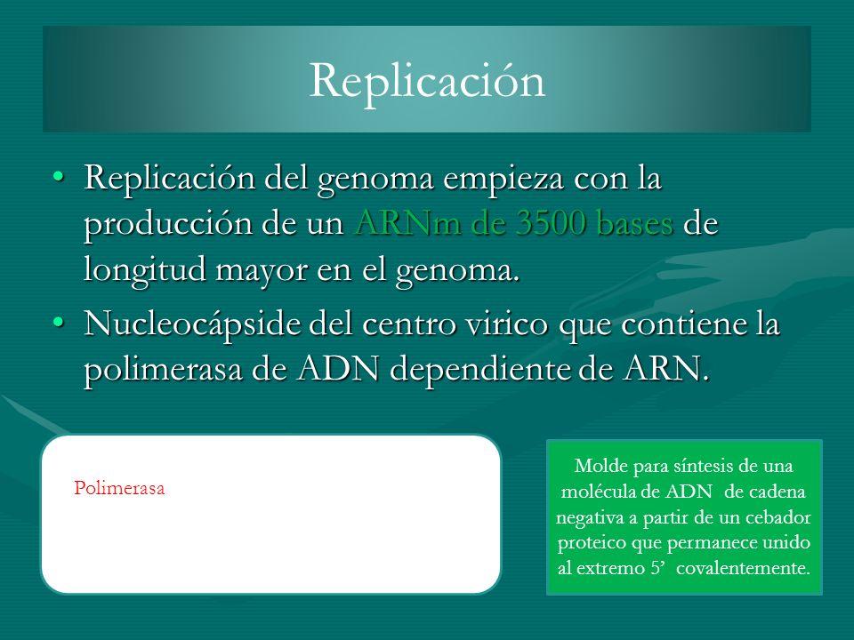 Replicación Replicación del genoma empieza con la producción de un ARNm de 3500 bases de longitud mayor en el genoma.Replicación del genoma empieza co