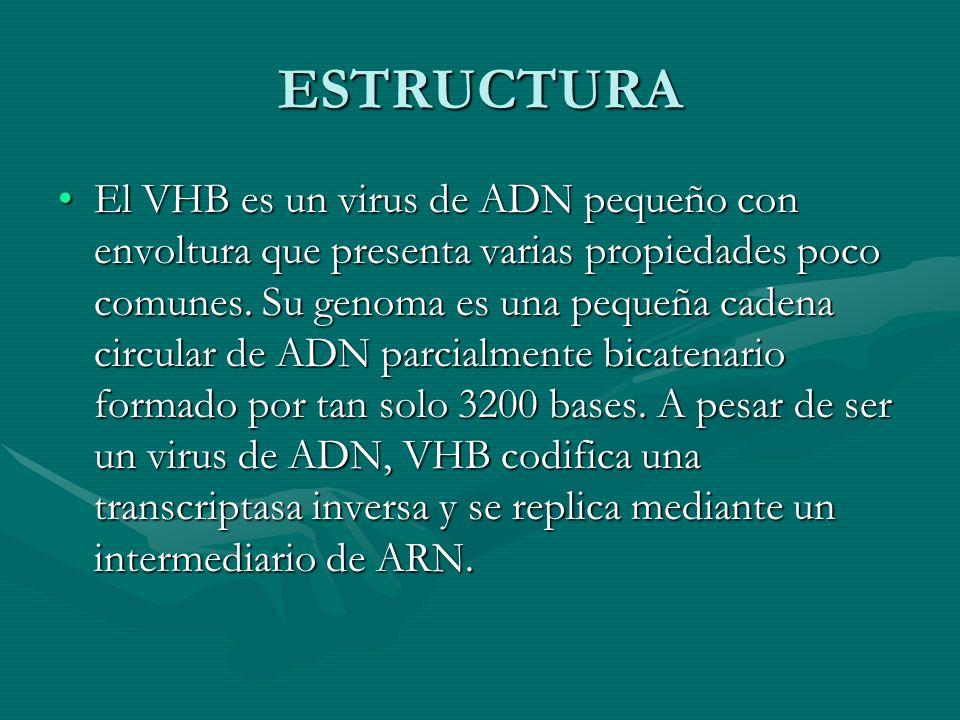 ESTRUCTURA El VHB es un virus de ADN pequeño con envoltura que presenta varias propiedades poco comunes. Su genoma es una pequeña cadena circular de A