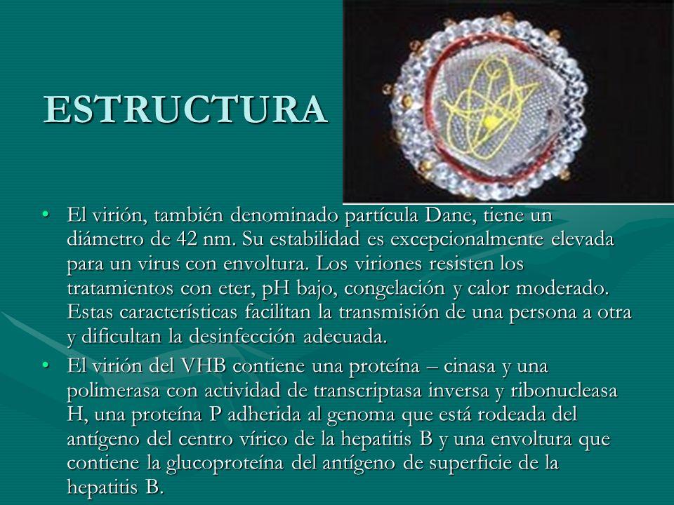 ESTRUCTURA El virión, también denominado partícula Dane, tiene un diámetro de 42 nm. Su estabilidad es excepcionalmente elevada para un virus con envo