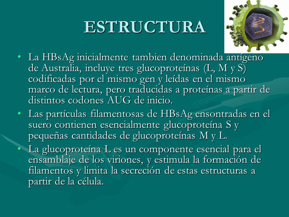 ESTRUCTURA La HBsAg inicialmente tambien denominada antígeno de Australia, incluye tres glucoproteínas (L, M y S) codificadas por el mismo gen y leída